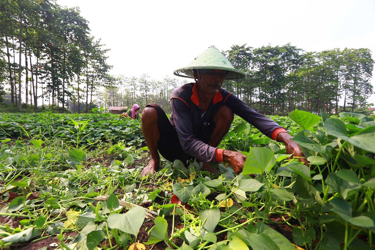 Masa  Pandemi, Indonesia Ekspor Ubi 15-18 Ribu Ton Per Tahun